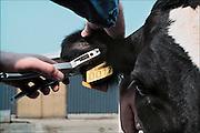 Nederland,Wansum, 15-08-1991Oormerk voor koeien wordt in het oor geplaatst.Oormerken van koeien en kalveren wordt ingevoerd. I en R, identificatie en registratie. Het vervangt ook de traditionele tekening die van elk kalf gemaakt werd..Foto: Flip Franssen/Hollandse Hoogte