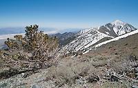 Bristlecone pine, Pinus longaeva, and Telescope Peak, elevation 11,049 feet (3,368 meters), in the Panamint Range on the Western edge of Death Valley. Badwater area of Death Valley, 282 feet (86 meters) below sea level, is in the left background. Death Valley National Park, California.