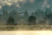 A flock of Canada geese flies over the Napa River as steam rises off the water in the early morning sun in Napa, California, USA, January 3, 2004.