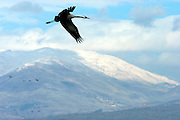 Stork at the Hula lake, Northern Israel with the snow covered Hermon mountain in the background