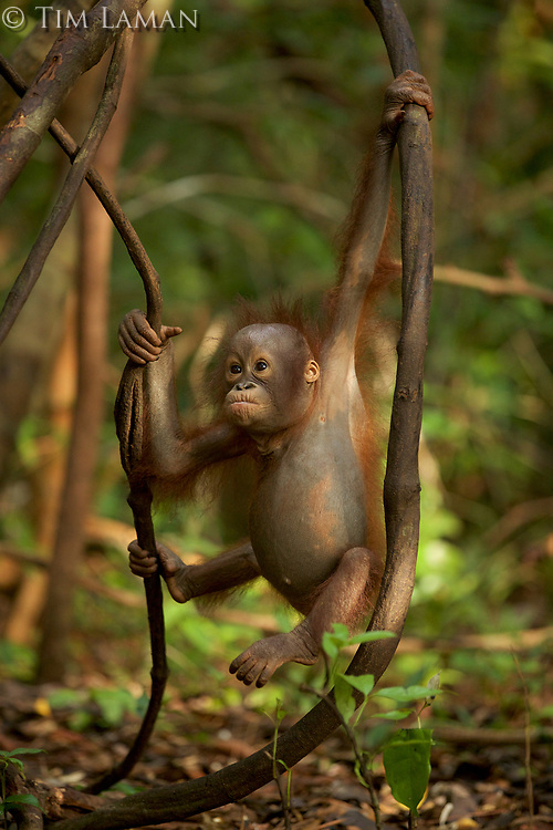 A juvenile orangutan at IAR practicing climbing in a patch of forest where it is learning skills for the wild <br /><br />International Animal Rescue (IAR)<br />Ketapang<br />West Kalimantan Province<br />Island of Borneo<br />Indonesia