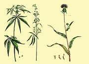 Cannabis Female Hemp (Left) Male Hemp (Centre) and Carduus [Melancholy Thistle] Vol 1 of the book The universal herbal : or botanical, medical and agricultural dictionary : containing an account of all known plants in the world, arranged according to the Linnean system. Specifying the uses to which they are or may be applied By Thomas Green,  Published in 1816 by Nuttall, Fisher & Co. in Liverpool and Printed at the Caxton Press by H. Fisher