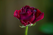 Rosa 'William Shakespeare', close-up of a deep red rose