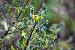 Ilex aquifolium 'Ferox Aurea' - Golden hedgehog holly
