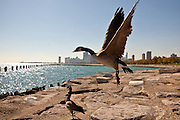 A goose flies along Lake Michigan in downtown Chicago, IL.
