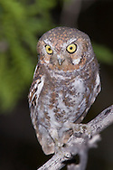 Elf Owl - Micrathene whitneyi - Adult