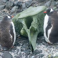 Gentoo penguins (Pygoscelis papua) stands beside a whale bone on Aitcho Island, Antarctica.