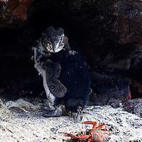 South America, Ecuador, Galapagos Islands. Galapagos Penguin and sally Lightfoot Crab on San Cristobal island.