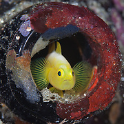 One of a pair of Dinah's goby (Lubricogobius dinah) in the mouth of a beer bottle, at Observation Point in Milne Bay, Papua New Guinea