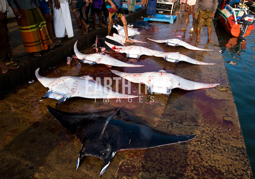 A mobula ray is off loaded at a fish market in Sri Lanka. Manta and mobula rays are still landed in Sri Lanka to supply the gill plate trade in China. The meat is consumed locally, the gills are then dried and exported to Hong Kong and China. Photo: Paul Hilton / Earth Tree Images