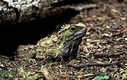 Tuatara (Sphenodon punctatus), New Zealand