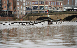 © Licensed to London News Pictures. 03/01/2016. York, UK. A large branch has become stuck in the high level River Ouse along Kings Staith in York. Photo credit : Anna Gowthorpe/LNP