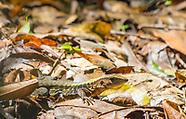 Delicate Ameiva, Ameiva leptophrys