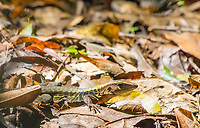 Delicate Ameiva, Ameiva leptophrys, in Carara National Park, Costa Rica