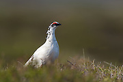 The Rock Ptarmigan (Lagopus muta) is a medium-sized (31–35 cm or 12–14 in.) gamebird in the grouse family. It is known simply as Ptarmigan in Europe and in North America it is called Snow Chicken or Partridge