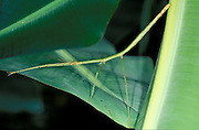 Stick Insect, or Walking Stick, phasmid sp. green camouflaged on leaf