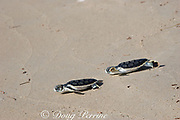 Australian flatback sea turtle hatchlings ( Natator depressus ) (c-r) approach the ocean after emerging from nest, Crab Island, off Cape York Peninsula, Torres Strait, Queensland, Australia