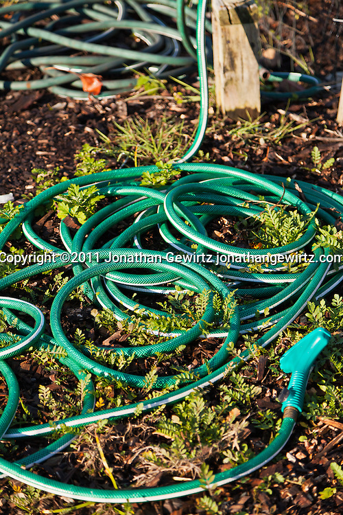 An outdoor water faucet and hose in a garden. WATERMARKS WILL NOT APPEAR ON PRINTS OR LICENSED IMAGES.