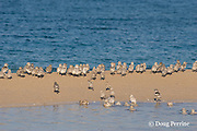 crested or swift tern chicks, Sterna bergii or Thalasseus bergii, huddle on narrow strip of sand as rising tide floods the interior of Turu Cay, Torres Strait, Queensland, Australia