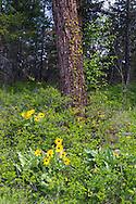 Arrowleaf Balsamroot (Balsamorhiza sagittata) growing in a Ponderosa Pine (Pinus ponderosa) forest in Ellison Provincial Park, Vernon, British Columbia, Canada