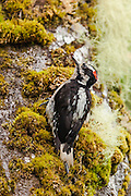Hairy Woodpecker among the lichen in the Quinault Rain Forest