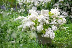 Bucket of picked Syringa vulgaris - Lilac