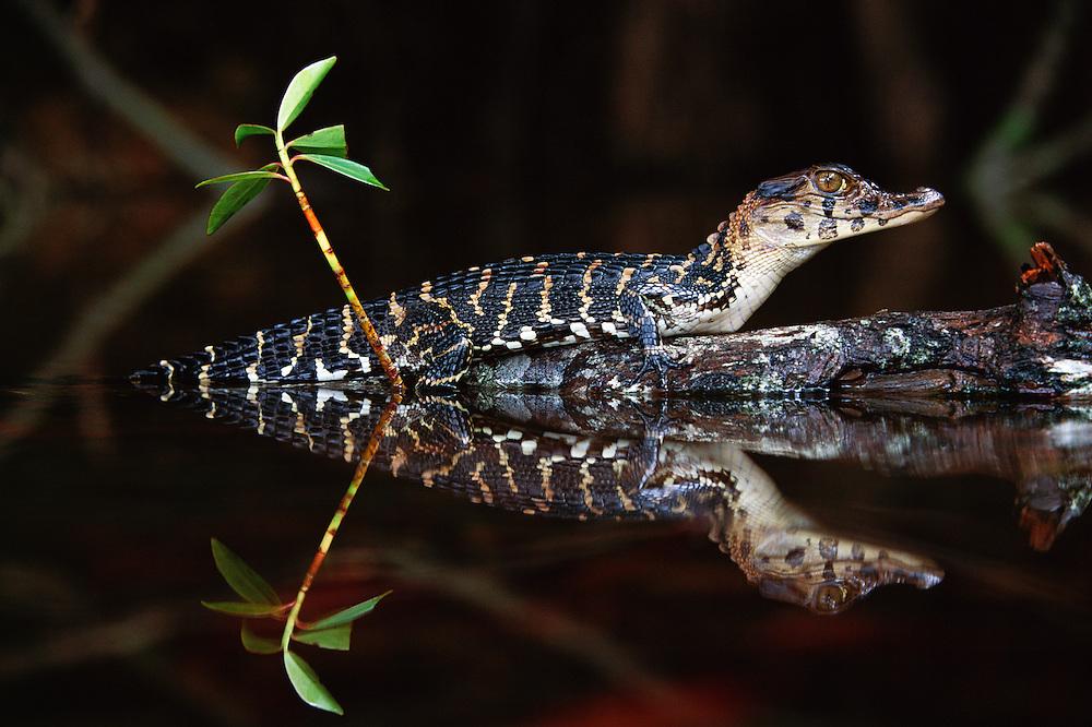 Black Caiman Juvenile<br /> Melanosuchus niger<br /> Iwokrama Reserve, GUYANA. South America<br /> RANGE; Amazon and Orinoco Basins