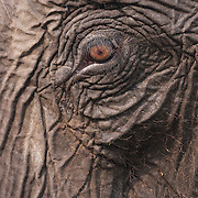 Close-up of the face of an Indian elephant (Elephas maximus indicus), one of three recognized subspecies of the Asian elephant. This is a domesticated Indian elephant that takes tourists on rides in Kaziranga National Park, India