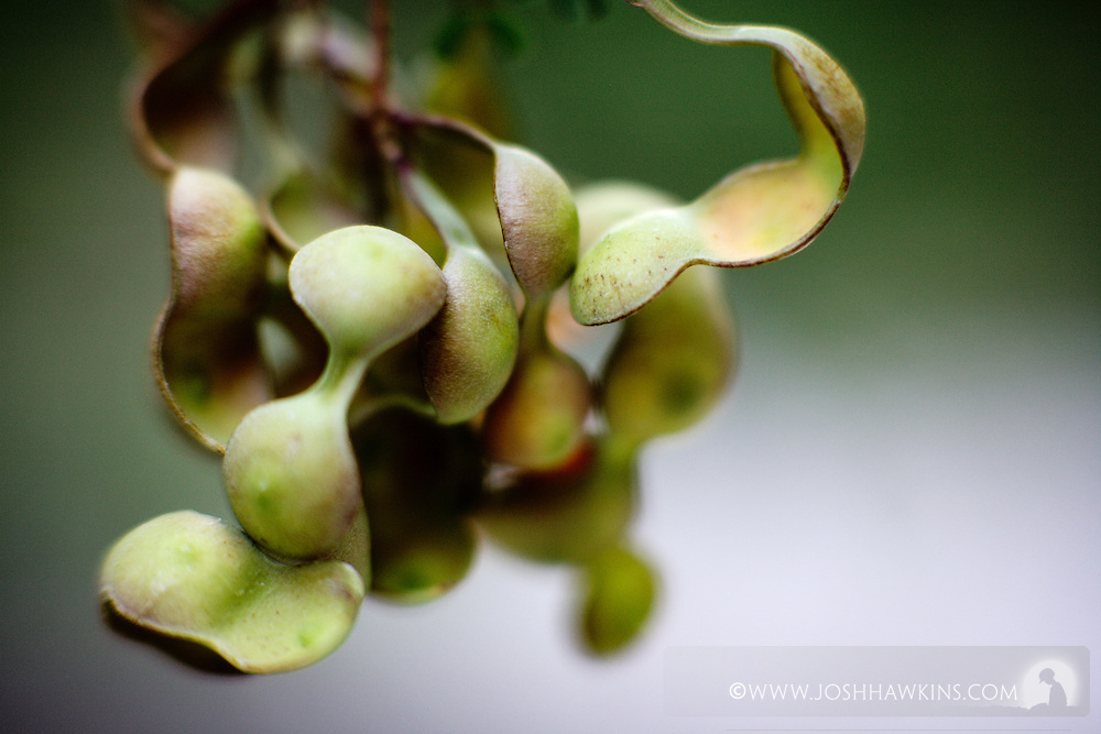 The seeds pods of the Prosopis glandulosa, commonly known as Honey Mesquite Tree in White Rock Canyon, above the Colorado River down stream of the Hoover Dam, by Las Vegas, NV.
