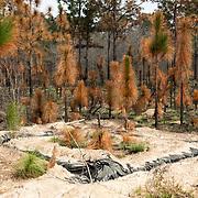 Longleaf pines at Ichauway