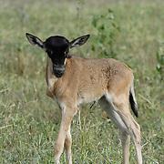 Wildebeest (Connochaetes taurinus) calf born during migration in Serengeti National Park, Tanzania, Africa.
