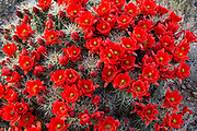 Red flowers cover a mound of cactus (Echinocereus) in Organ Mountain National Monument, New Mexico