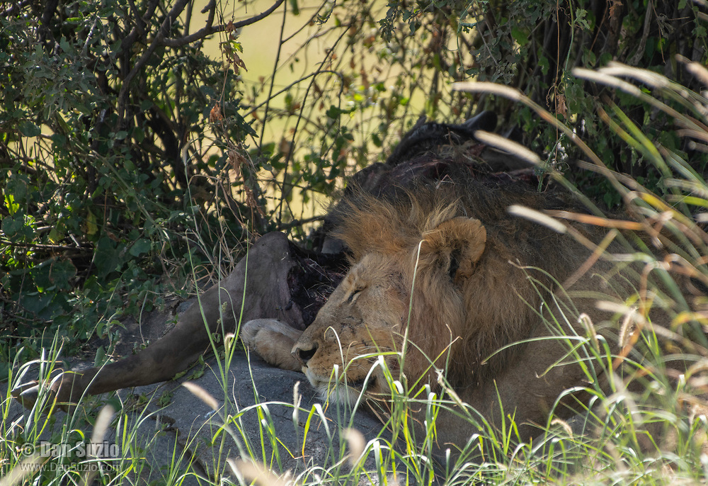 A male Lion, Panthera leo  melanochaita, sleeps in the shade beside the partially-eaten remains of a Cape Buffalo, Syncerus caffer, in Serengeti National Park, Tanzania