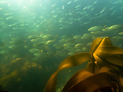 Strepie (Sarpa salpa)<br /> kelp forest, <br /> Bettys, Bay,<br /> South Africa, <br /> western, cape