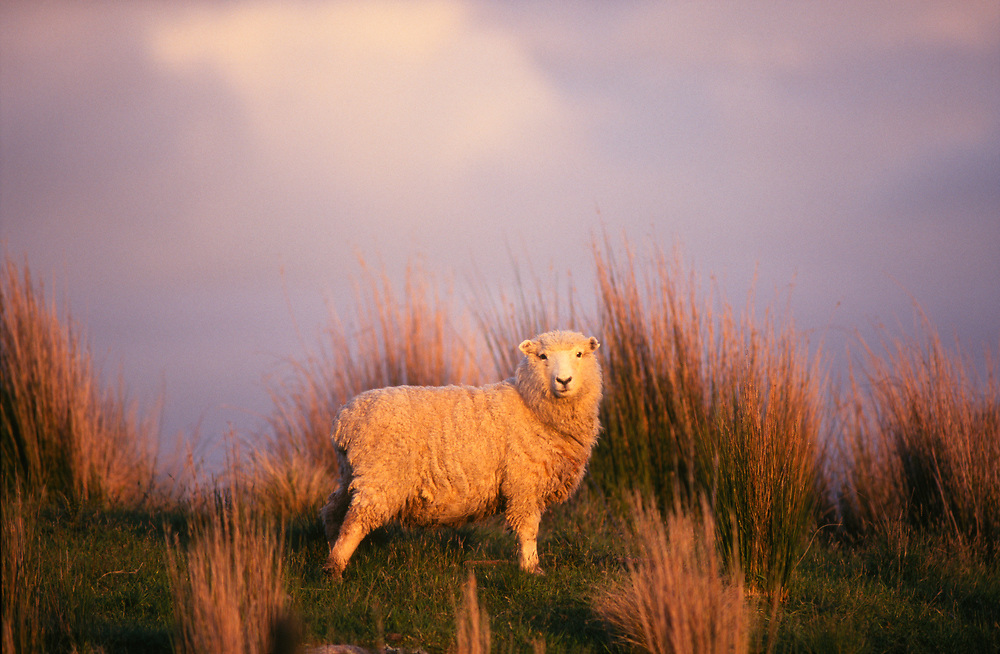 Romney Sheep in grass tussocks in last golden light of the day. Licensing and Limited Edition Prints