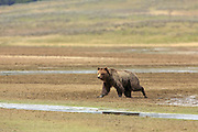Grizzly bear crosses a mud flat in Wyoming.