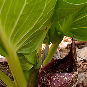 Symplocarpus foetidus, Skunk Cabbage. A common plant that is among the first to appear in along streambanks in the early spring. Crushing the leaves sometimes releases a distinct skunk-like odor.