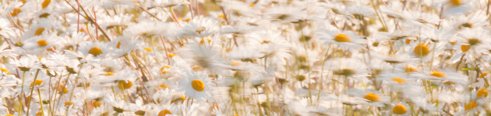 Daisies blowing in the wind. motion blur panorama