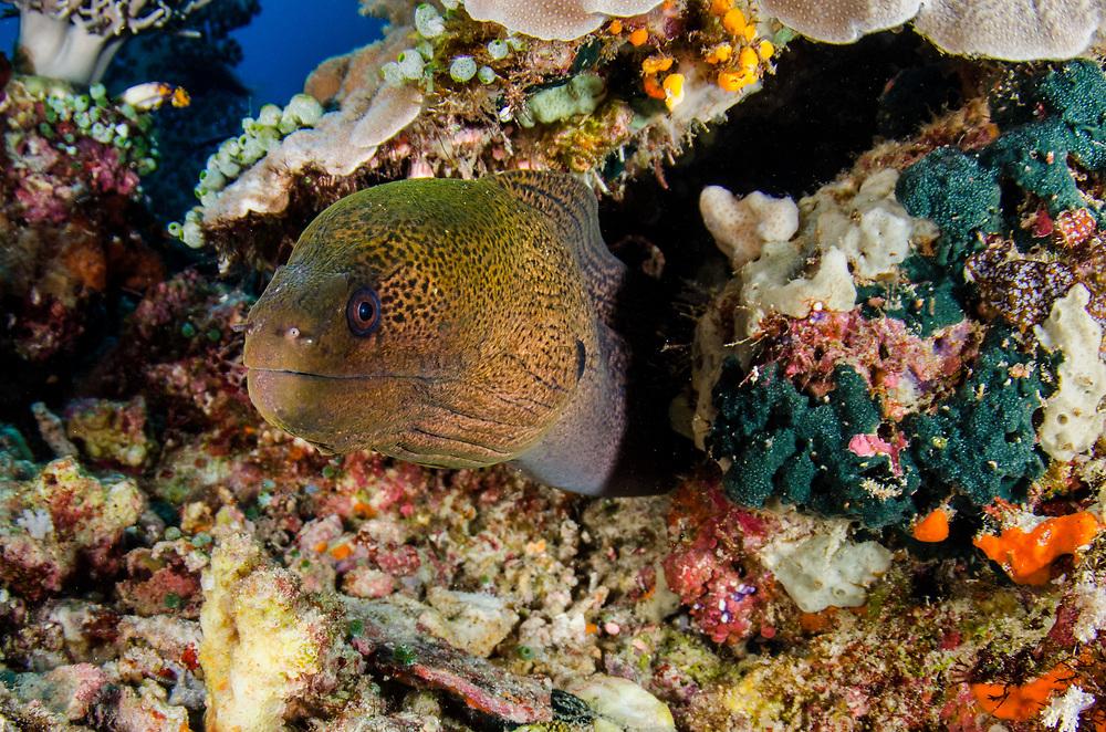 Giant Moray (Gymnothorax javanicus)<br /> Raja Ampat<br /> West Papua<br /> Indonesia