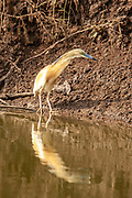 squacco heron (Ardeola ralloides). This small heron mainly feeds on insects, but also takes birds, fish and frogs. It is found in southern Europe, West Asia and southern Africa. Photographed in Israel in May