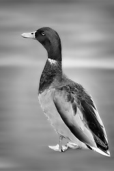 A mallard duck in black and white. This guy just kept crossing the street back and for for several hours, I figured a photograph was in order.