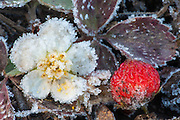 Wild strawberry covered by frost in Yellowstone National Park