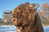 Highland Cattle in snow