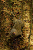 Pygmy Marmoset (Callithrix pygmaea) feeding on sap in Yasuni National Park, Orellana Province, Ecuador