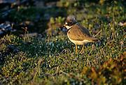 Semipalmated plover (Charadrius semipalmatus) on tundra<br />Churchill<br />Manitoba<br />Canada