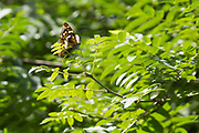 Purple emperor butterfly (Apatura iris) in the branches of an ash tree. Bookham Common, Surrey, UK.