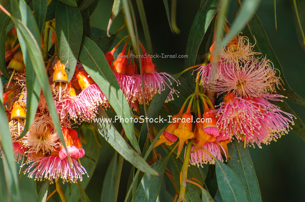Cluster of red / pink flowers, buds & grey green leaves of Eucalyptus torquata, commonly known as coral gum or Coolgardie gum, is an endemic tree of Western Australia. The species is cultivated for use in gardens and as a street tree. Photographed in Israel in February