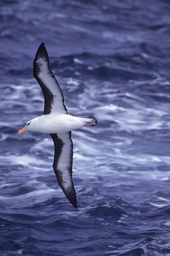 Black-browed Albatross (Diomedea melanophris) adult in flight.  Falkland Islands.