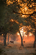African elephants at sunset in South Luangwa National Park, Zambia