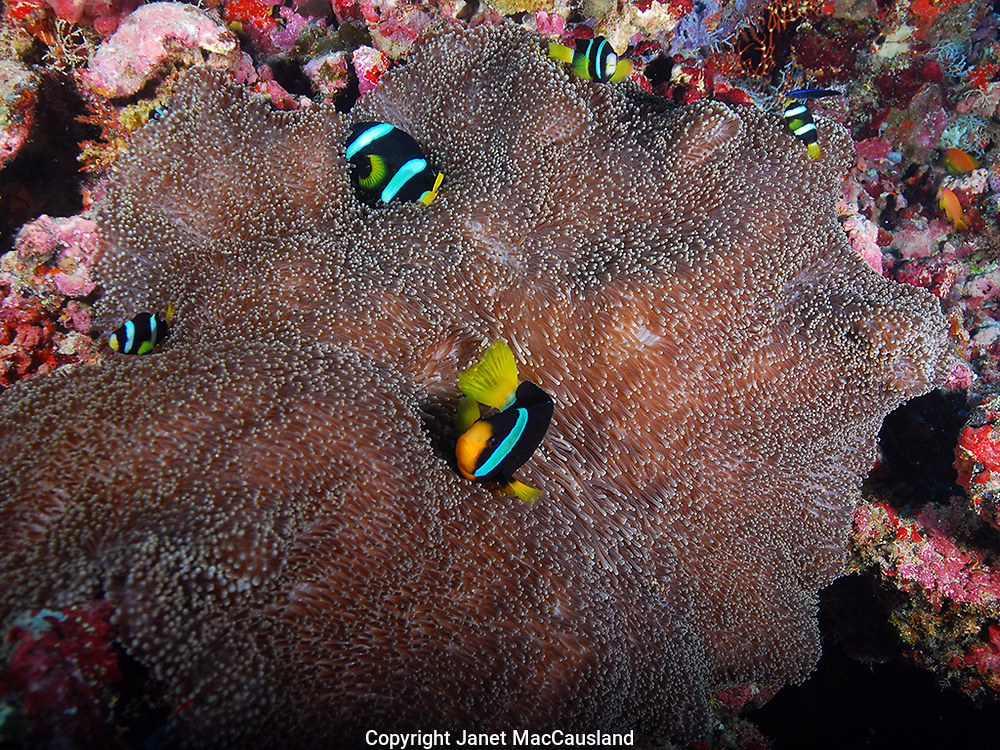 A group of Clarks Anemonefish (Amphiprion clarkii) hide amongst the protective tentacles of a carpet anemone (Stichodactyla haddoni) in the Maldives. Clownfish secrete a protective coating allowing them to safely exist within the arms of their otherwise toxic anemone host.